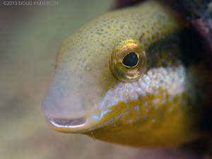 Brown Sabre-toothed Blenny. Bare Island, Botany Bay. by Doug Anderson 